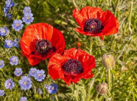 lint: A flower bed with blooming decorative Papaver orientale (Oriental poppy) and decorative blue Linum perenne (perennial flax,  blue flax or lint)