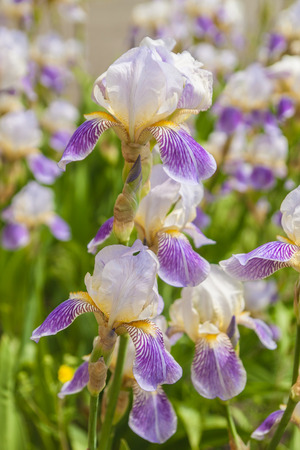 Blooming iris in spring time on blurred background