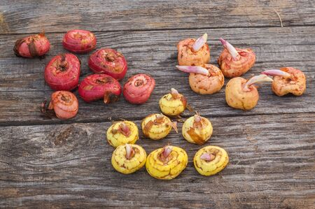 sorts: Gladiolus bulbs before planting of different sorts  on a wooden table