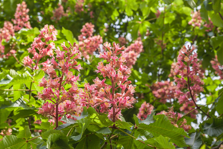 buckeye flower: Pink flower of red horse-chestnut,  is an artificial hybrid between A. pavia (red buckeye) and A. hippocastanum (horse-chestnut). Stock Photo
