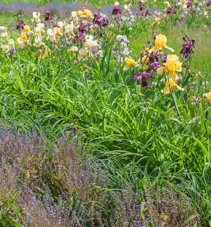 flower bed: Flower bed with blooming iris, forget-me-and daylilies