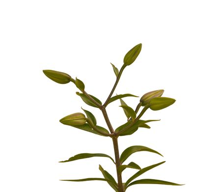 nibbling: Stem lily with leaves nibbling insects on a white background isolated Stock Photo