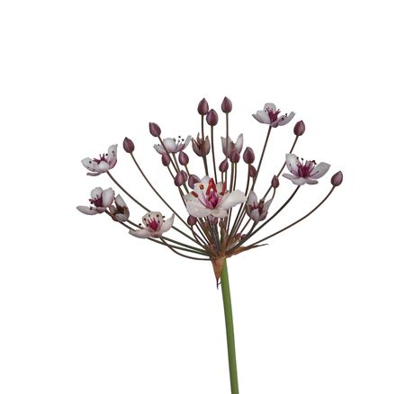 Flowering rush, Butomus umbellatus isolated