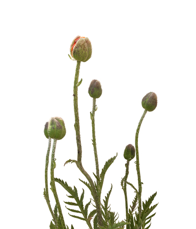 bourgeon: Papaver orientale (Oriental poppy) is a perennial flowering plant native to the Caucasus, northeastern Turkey, and northern Iran isolated over white background. Stock Photo