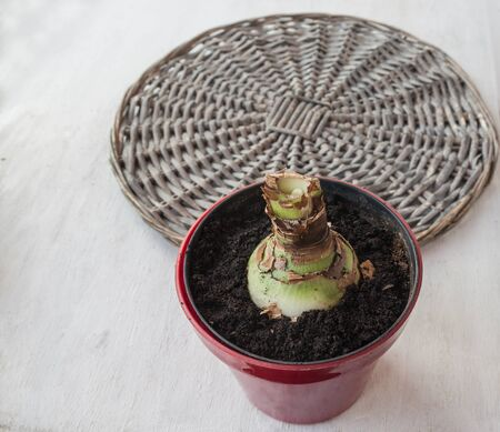 braided: Hippeastrum bulb in a pot on a braided background circle