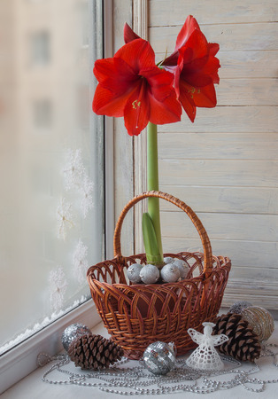 magic lily: Decor winter window with red Hippeastrum (amaryllis) waiting for Christmas