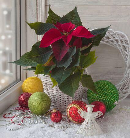 Poinsettia (Euphorbia pulcherrima), Weihnachtsschmuck im Fenster am Vorabend des Advent