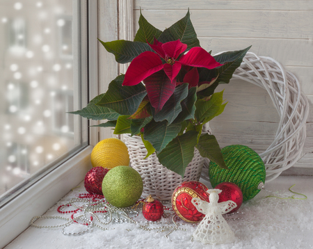 desing: Poinsettia  (Euphorbia pulcherrima), Christmas decorations  in the window on the eve of Advent
