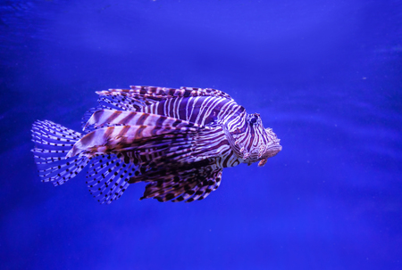 Lion fish  (Red firefish) in aquarium with blue background Stock Photo