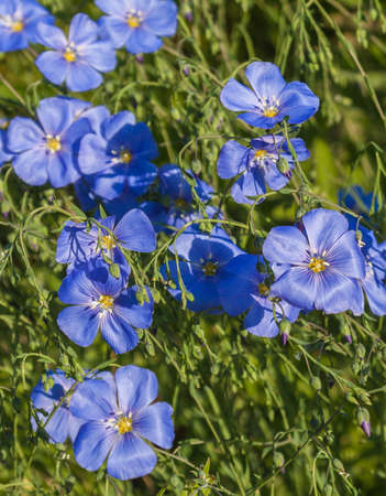 malpighiales: A flower bed with blue decorative linen (Linum perenne)