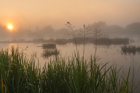 auroral: Foggy sunrise on a small river in Polesie overgrown with Butomus umbellatus Stock Photo