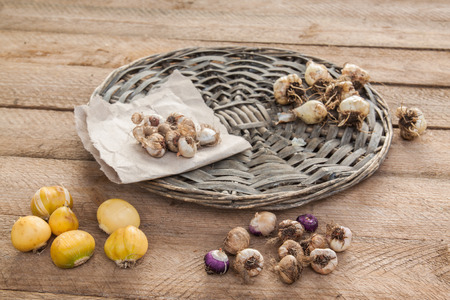 Bulbs of flowers blossoming in spring on a wooden table Stock Photo