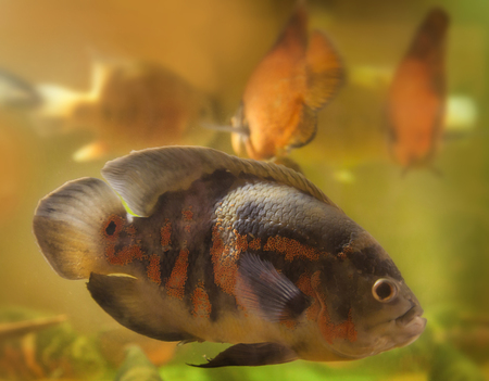 south american cichlid: Bright Oscar Fish - South American freshwater fish from the cichlid family, known under a variety of common names including oscar, tiger oscar, velvet cichlid, or marble cichlid.