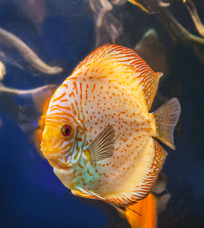 discus: Discus (Symphysodon discus) of different colors  is swimming   in the blue water.