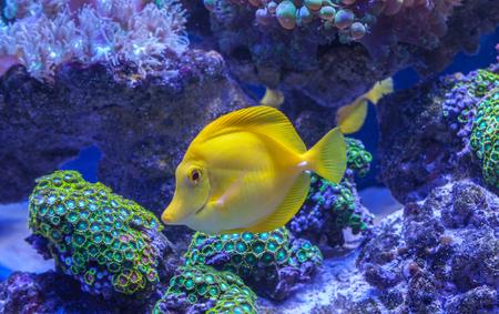 flavescens: Yellow tang Zebrasoma flavescens saltwater aquarium fish