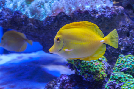 tang: Yellow tang Zebrasoma flavescens saltwater aquarium fish