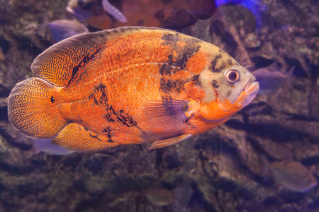 cichlid: Bright Oscar Fish - South American freshwater fish from the cichlid family, known under a variety of common names including oscar, tiger oscar, velvet cichlid, or marble cichlid.