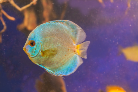 Blue Diamond Discus  (Symphysodon discus) of different colors  is swimming   in the blue water.