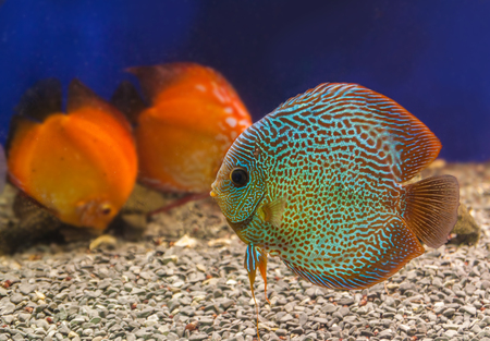 symphysodon discus: Three beautiful discus (Symphysodon discus) of different colors  is swimming   in the blue water. Stock Photo