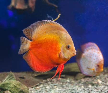 discus: Red discus (Symphysodon discus) of different colors  is swimming   in the blue water.