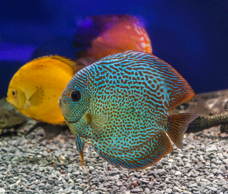 Three beautiful discus (Symphysodon discus) of different colors  is swimming   in the blue water. Stock Photo