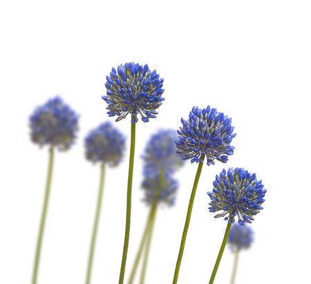 alliaceae: Blue Allium caesium  on a white background  isolated Stock Photo