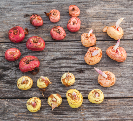 sorts: Gladiolus bulbs before planting of different sorts  on a old  wooden table
