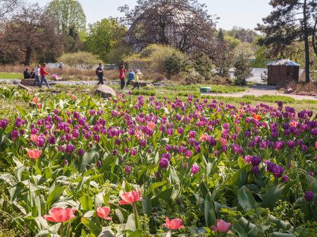 KIEV, UKRAINE-April 17. 2016: Blooming tulips in the M. Gryshko National botanic Garden  in Kiev, Ukraine.