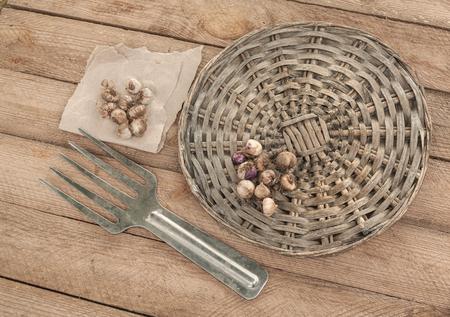 Ixia bulbs on wooden table next to a garden tool Stock Photo
