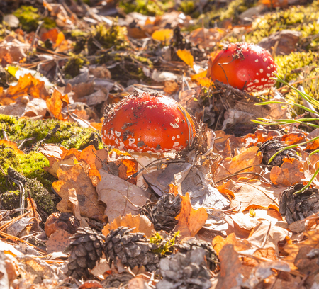 mortally: Two little mushroom Amanita muscaria on a sunny autumn day in the woods Stock Photo