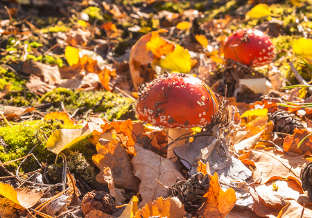 uneatable: Two little mushroom Amanita muscaria on a sunny autumn day in the woods Stock Photo