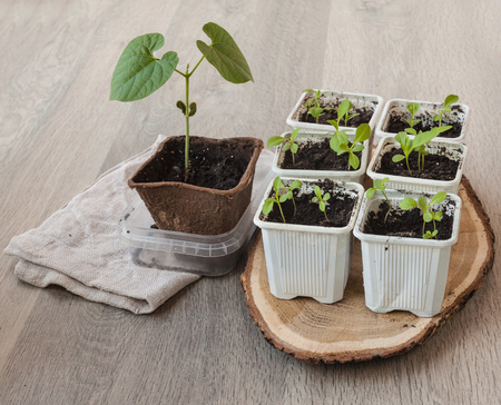 peat pot: Seedlings of flowers in pots  on a wooden table