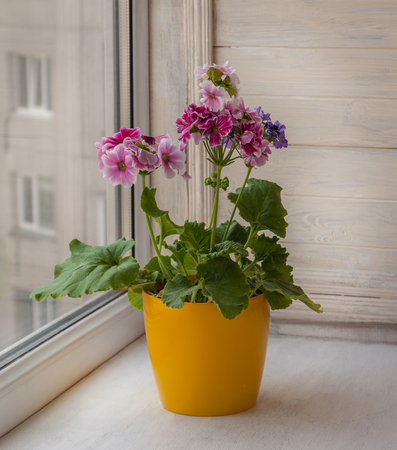 cranesbill: Beautiful flowers pink pelargonium in yellow pot on a window sill