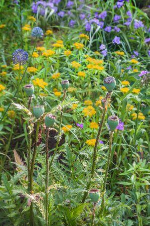undemanding: Flower bed of undemanding perennials Papaver orientale,Virginia spiderwort (Tradescantia virginiana)  and yellow sedum aizoon  The contrasting color combination of color on a bed