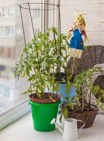decorative balcony: Vegetable garden with tomato and the decorative scarecrow on the balcony