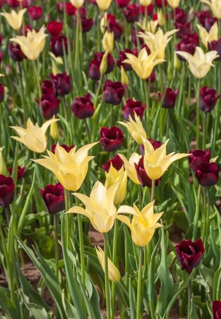 promptness: The combination of the flowerbed of tulips class Lilyflowering yellow and simple early or group Trium red and black shade