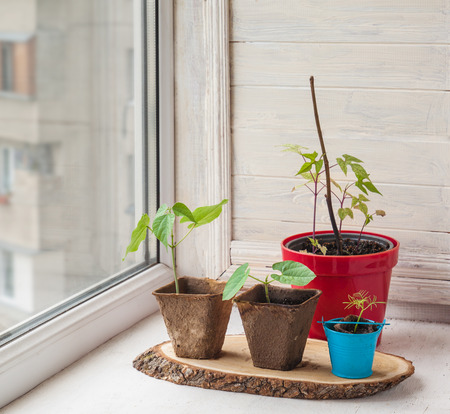 Growing seedlings of lianas Dolichos, Ipomoea quamoclit  on the window