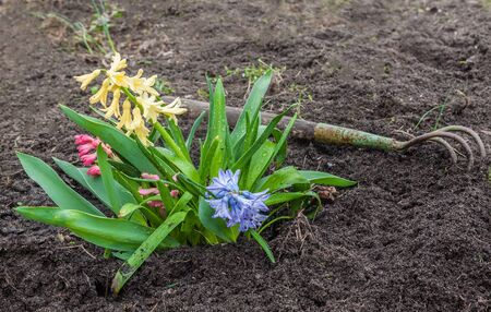 Hyacinths  in a garden in early spring  and chopper
