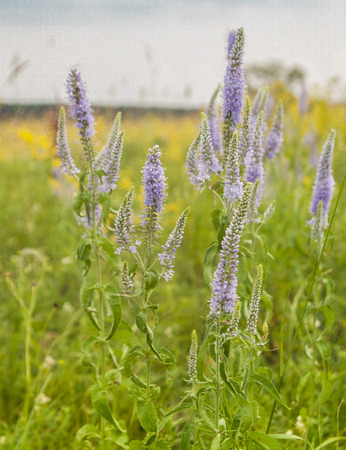 plantaginaceae: Veronica - Veronica spicata L. growing in   European part of Russia,   Caucasus, Siberia and Central Asia, Western Europe and   Mediterranean