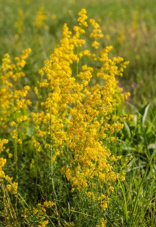 calcareous: Galium verum in a meadow with a sunny day