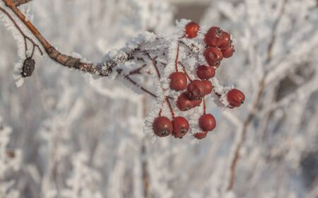 frost bound: Sorbus torminalis branches with bunches of berries in the frost