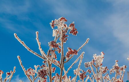 Sorbus torminalis branches with bunches of berries in the frost on the background of the winter sky Stock Photo