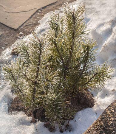 Pinus pumila (common names Siberian dwarf pine, dwarf Siberian pine,  dwarf stone pine,  Japanese stone pine, or creeping pine )  near the tracks in winter