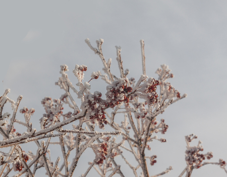 The branch  Sorbus torminalis with bunches of berries in the frost on the background of the sky