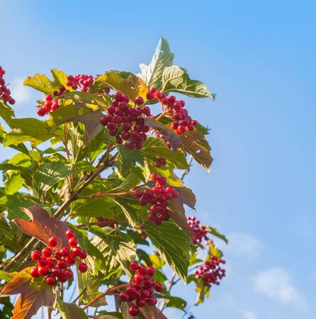 Viburnum branch with berries on blue sky background