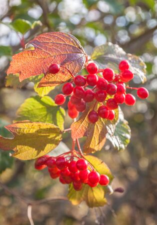 Viburnum branch with berries on blurry background