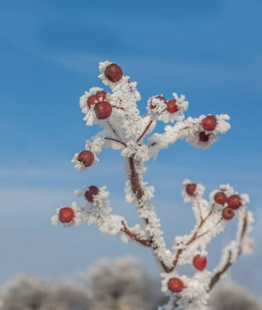 frost bound: Sorbus torminalis branches with bunches of berries in the frost on the background of the winter sky Stock Photo