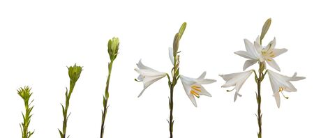 sequential: The sequence of blooming flower of Lilium candidum or the Madonna lily on a white background isolated