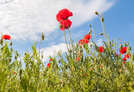 Field with poppy (Papaver rhoeas)  in spring by a sun day Stock Photo