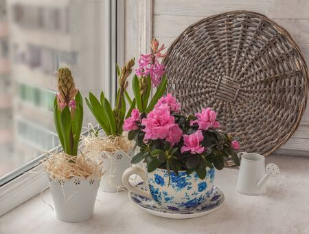 Pink azaleas and hyacinths in vintage  pots next to  decorative watering can on the window